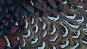 Pheasant Feathers 02 by 88-Lawstock