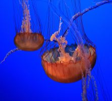 Jellyfish II by ernieleo