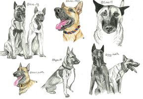 Malinois study by RedSoulWolf13