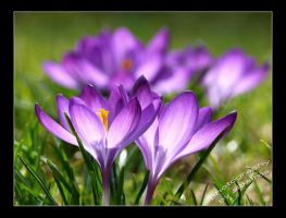crocuspower by albatros1