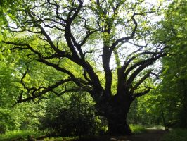 mighty Oak by soXsiting