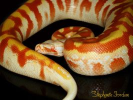 T- Albino Blood Python by Toxic-Muffins-Studio