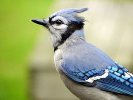 bluejay surprise by Lou-in-Canada