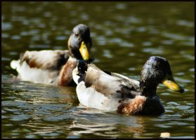 Two Male Mallards by Somebody-Somewhere