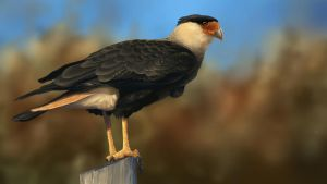 Caracara by Wanderer768