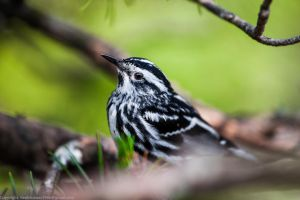 Black and White Warbler 4 by rctfan2