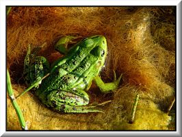 Frog in her water bed... by Yancis