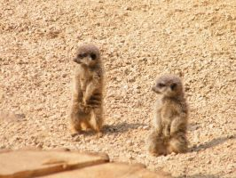 Meerkat Pups by YesOwl
