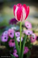 Tulip by WindyLife