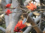 Coral Tree flowers by lillywiggz182
