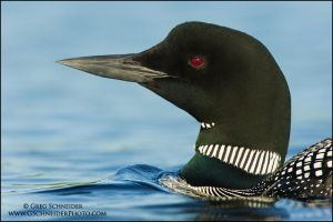 Loon portrait by gregster09