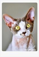 Devon Rex cats by angeloffthedarkness