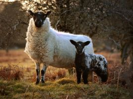 Proud Sheep, Curious Lamb by TamarViewStudio