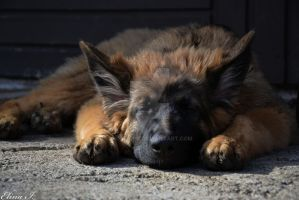 Sleeping puppy by roxmohr