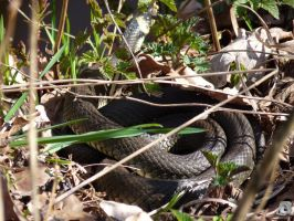 grass snake II by IndianRain