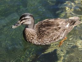 New Zealand 2014- Duck by Carlie-NuclearZombie