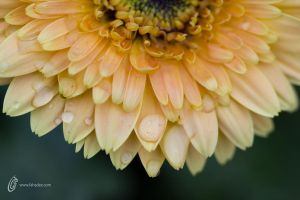 Flower with drops by fahadee