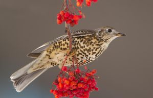 Winter shades - Mistle Thrush by Jamie-MacArthur