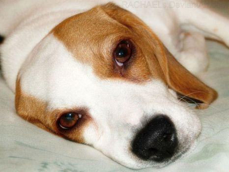 SassyBelle Beagle by Rachaels