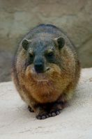 Rock Hyrax by sicklittlemonkey