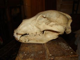 Bear's skull 4 by Panopticon-Stock