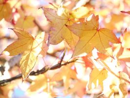 Golden leaves. by asaluiphotography