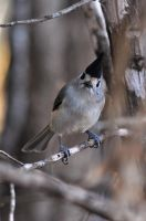 Black-crested Titmouse by robbobert