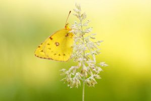 Oh yellow butterfly... by cigane13