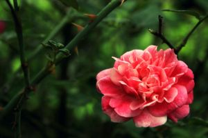 Wild Rose by shandya