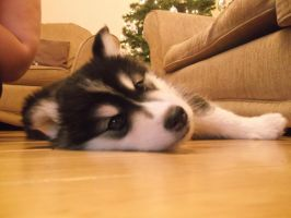 .:My Husky Puppy:. by shadowburn88