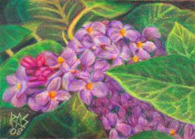 ACEO Lilac by robertsloan2