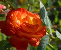 Rose at the Huntington by TimBakerFX