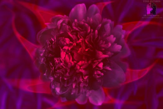 Magical peony#1 by star1antares