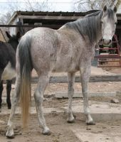 Arabian Horse Stock Pic 26 - RETIRED STOCK IMAGE by escapist1901