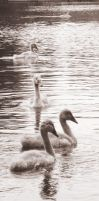 Cygnets by E-bone69