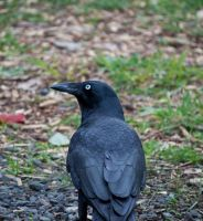 Crow Stock by CNStock