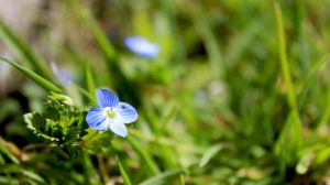 Green field speedwell by Andrei-Azanfirei