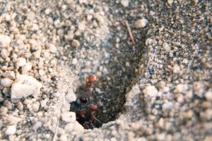 Red and Black Ants in Hive by dannypyle