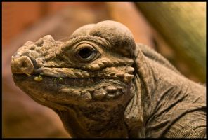 Rhinocerous Iguana by Shady-Tradesman