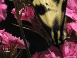 My front yard Butterfly 5 by Fallonkyra