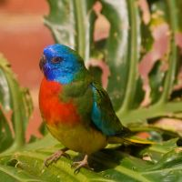 Scarlet-Chested Parrot by FireflyPhotosAust