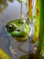 Frog by Snyki