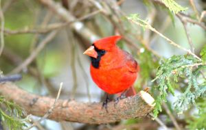 Male cardinal by donnatello129