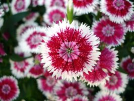 Dianthus Closeup by wolfepaw