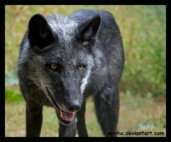 black timber wolf by morho