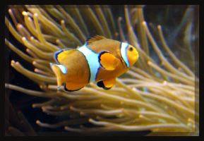 Clown Fish by pink-spike