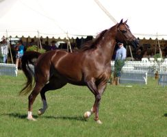 TW arab livchestnut trot side view by Chunga-Stock