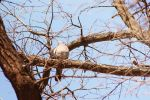 Wood Pigeon by GrayLynx