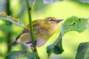 Orange- crowned Wabler by Sagittor