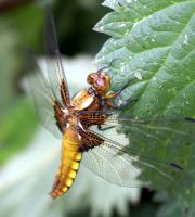 Broad bodied chaser/female 1 by karliosi